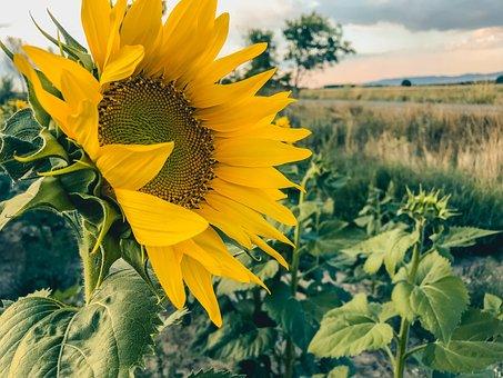 Sunflower, Sunflowers, Flower, Life, Sun, Yellow