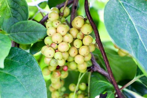 Maximowiczia Chinensis, Black-berry Magnolia Vine, 五味子