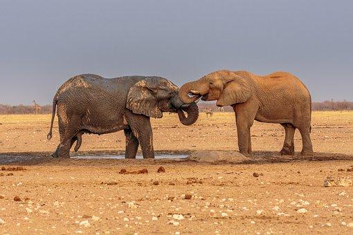 Elephants, African Elephant, Pair, Bathing
