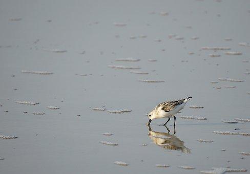 Sanderling, Beach, Bird, Wader, Sea, Coastal