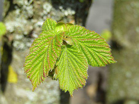 Beech, Hedge Accounting, Leaves, Bud, Go Up, Spring