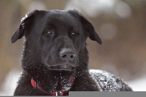 Dog, Black, Snow, Black Dog, Pet, Collar, Dog Collar