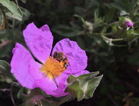 Bee, Pink, Bloom, Anemone, Flower, Flora, Blossom