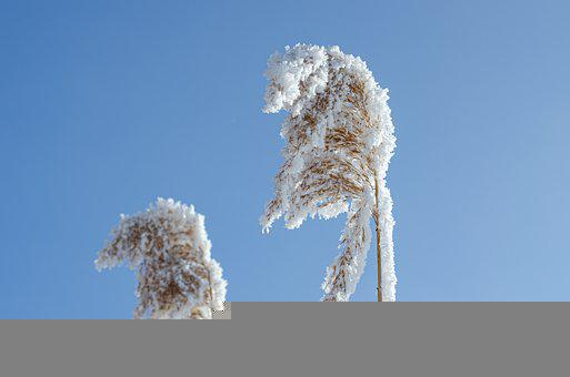Reed, Winter, Hoarfrost, Frost, Cold, Sky, Blue