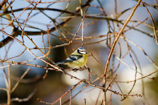 Bird, Blue Tit, Branches, Tree, Perched