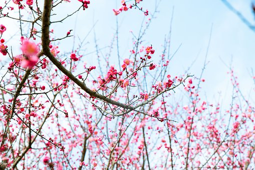 Plum Blossoms, Branches, Pink Flowers, Trees, Bloom