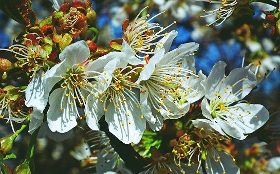 Flowers, Cherries, Fruit Tree, Spring, Flourishing