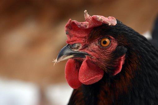 Chicken, Cock, Cockscomb, Beak, Pen, Bird, Plumage