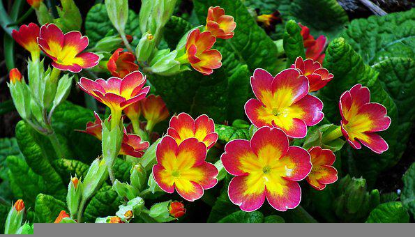 Primula, Flowers, Colorful, Nature, Garden, Spring