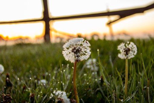 Dandelion, Field, Arable, Nature, Spring