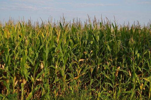 Corn On The Cob, Field, Harvest