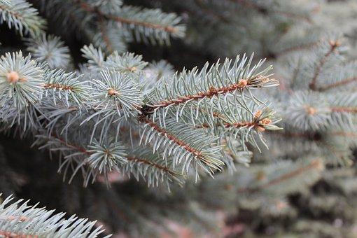 Branch, Pine, Spruce, Fir, Fir Tree, Fir-tree, Needles