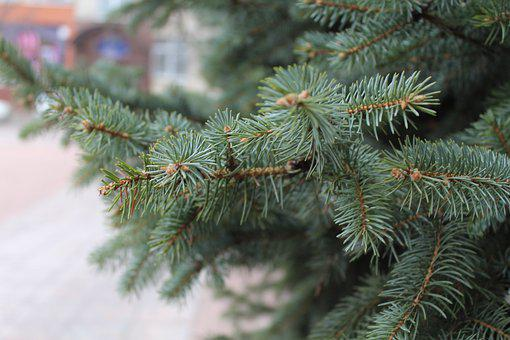 Branch, Pine, Spruce, Fir, Fir Tree, Fir-tree, Needles