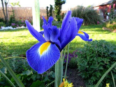Iris, Bloom, Flower, Nature, Plant, Garden, Flora