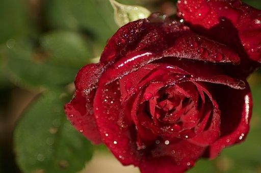 Rose, Dew, Red, Flower, Red Rose