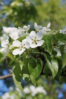 Flowers, Apple-tree, Spring, Blossom, Garden