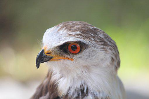 Juvenile, Black Shouldered Kite, Bird, Nature, Head