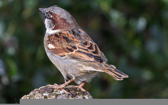 Sparrow, Hedge Sparrow, Garden Bird, Songbird, Beak