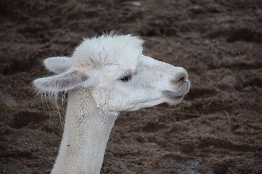 Alpaca, Vicugna Pacos, Lama Pacos, South America, Peru