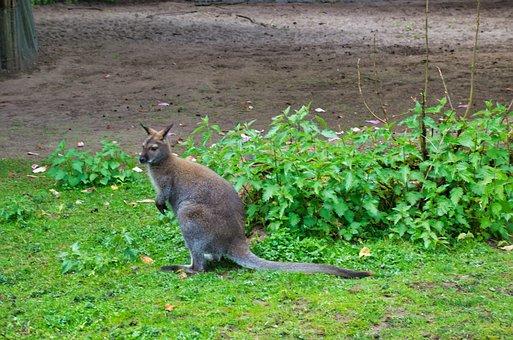 Kangaroo, Zoo, Marsupial