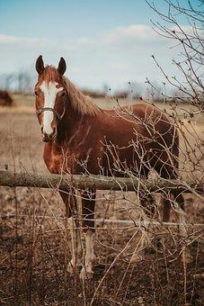 Horse, Paddock, Pony, Brown Horse, Stallion, Mammal
