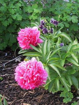Peony, Pink, Bush, Plant, Floral, Peonies, Flower