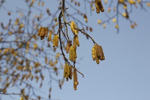 Hazelnut, Bush, Pollen, Hazel, Nature, Spring, Sausage