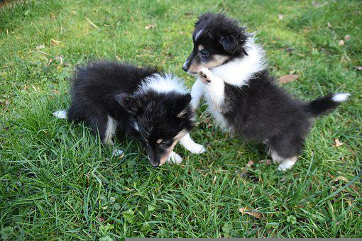 Puppies, Puppies Play, Shetland Sheepdog Puppy