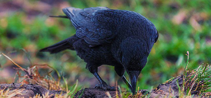 Raven, Bird, Crow, Black, Nature, Wild, Beak