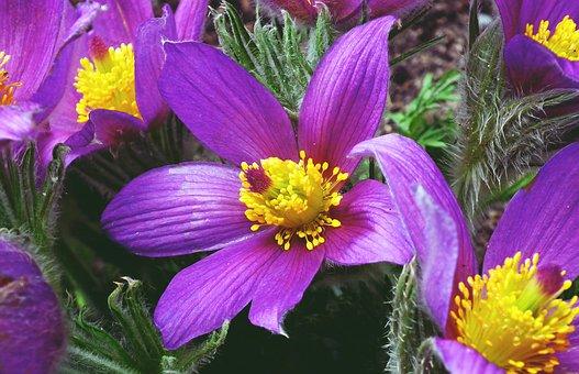 Sasanka, Flowers, Spring, Flourishing, The Petals