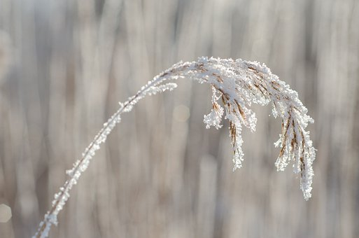Reed, Winter, Hoarfrost, Frost, Eiskristalle, Cold