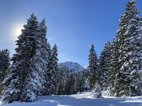 Winter, Spruce, Firs, Winter Forest, Wintry, Snow