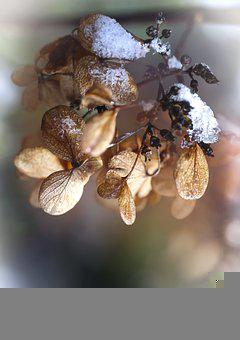 Flowers, Petals, Snow, Dried Flowers, Withered