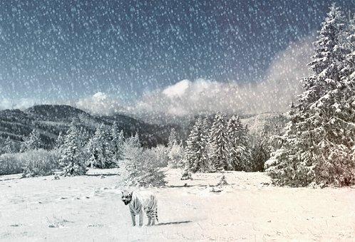 Tiger, Animal, Snow Landscape, Wintry, Wild Animal