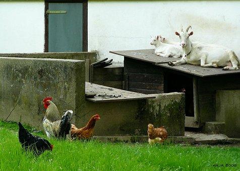 Animals, Animal, Goat, Goats, White, Animal World