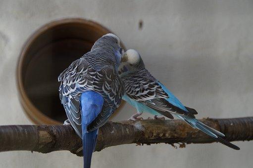 Budgerigars, Parakeets, Pets, Animal World