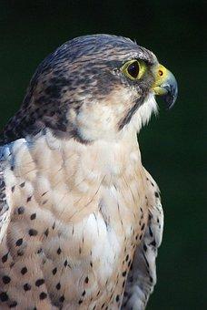 Adler, Bird, Raptor, Bird Of Prey, Head, Animal