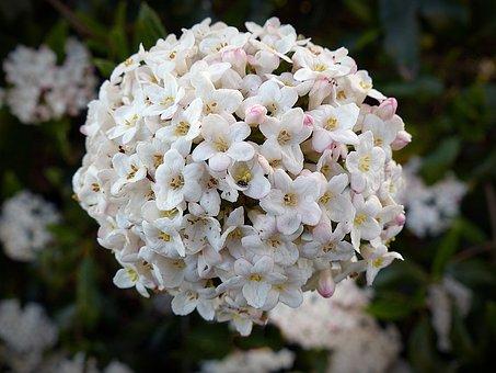 Flower, Snow Ball, Blossom, Bloom, White, Plant, Bloom