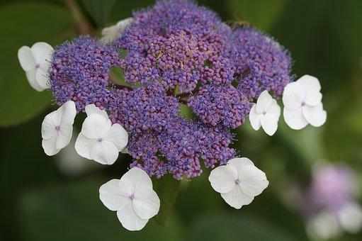 Ornamental Plant, Snow Ball, Bush, Shrub, Garden, Close