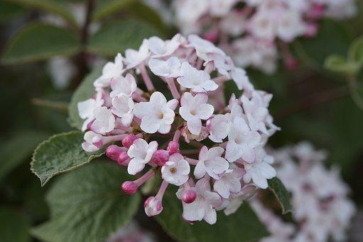 Snow Ball, Bloom, Blossom, Bloom, Bush, White