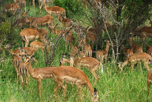 South Africa, Park, Kruger, Cobs, Antelopes, Herd, Wild