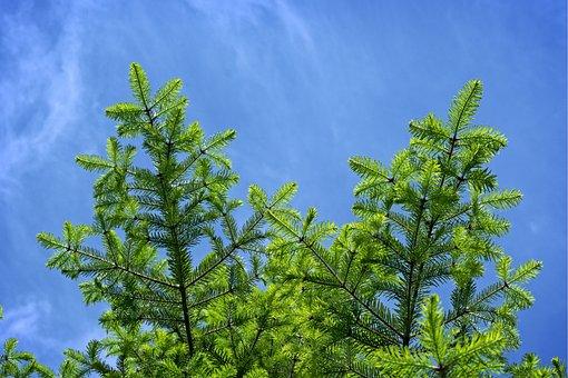 Tannenzweig, Branch, Fir, Spruce, Green, Spring