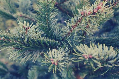 Spruce, Fir, Tree, Twig, Needles