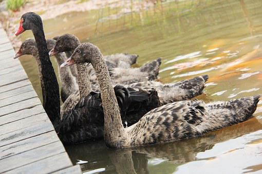 Swan, Beautiful, Koi, Lake, Pond, Fish, Park, Garden