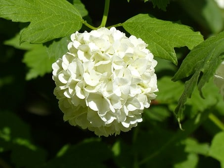 Hydrangea, Snow Ball, Globose, White