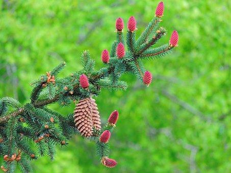 Conifer, Brad, Con, Branch, Green, Spring