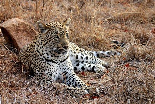 Leopard, Africa, Kruger, Wildlife, Animals, Big, Cat