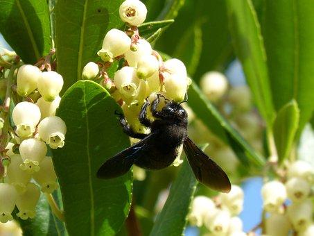 Bumblebee Wood, Xylocopa Violacea, Libar