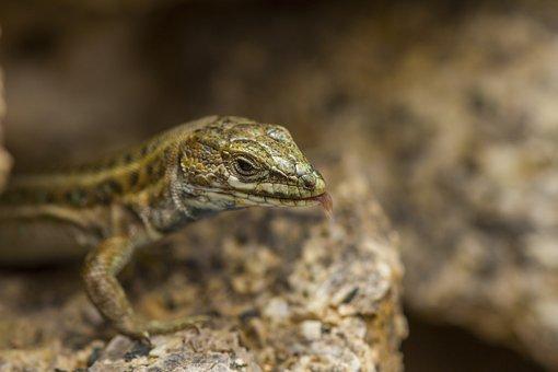 Nature, Animals, Lizard, Salamander, Macro
