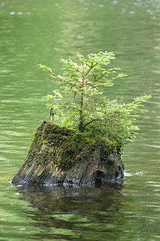 Tree Stump, Water, Pond, Seedling, Spruce, Moss, Nature